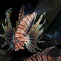 Lionfish 5D24143 Print by Wingsdomain Art and Photography