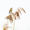 Little bird clinging to a reed stem Print by Attila Simon