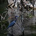 LITTLE BLUE HERON Print by Skip Willits