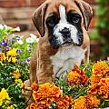 little Boxer Puppy in flowers Print by Doreen Zorn