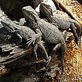 Lizards Print by Les Cunliffe