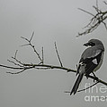 Loggerhead Shrike in Fog Poster by Cindy Bryant