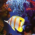 Longnose Butterflyfish Poster by Amy Vangsgard