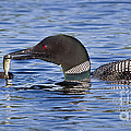 Loon Offers Fish to Chick Poster by Jim Block