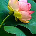 Lotus Blossom And Leaves Poster by Byron Varvarigos
