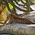 Lounging Leopard in The LIving Desert in Palm Desert-CA Poster by Ruth Hager