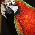 Macaw Profile by JOHN TELFER