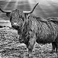 Magestic Highland Cow by John Farnan