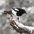 Magpie Out on A Branch Print by Tim Grams