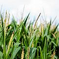Maize on the field Print by Frank Gaertner