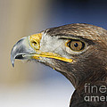 Majestic Golden Eagle Poster by Inspired Nature Photography By Shelley Myke
