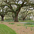 Majestic Live Oaks in Spring Poster by Suzanne Gaff