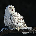 Majestic Whisper - Snowy Owl Poster by Inspired Nature Photography By Shelley Myke