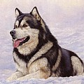 Malamute Print by David Stribbling