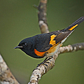 Male American Redstart Poster by Neil Bowman