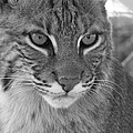 Male Bobcat - Black and White Print by Jennifer  King