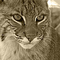 Male Bobcat - Sepia Poster by Jennifer  King