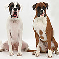 Male Boxer With Female Boxer Dog Print by Mark Taylor