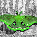 Male Moth Green Poster by Al Powell Photography USA