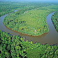Mangrove Forest In Mahakam Delta Print by Cyril Ruoso