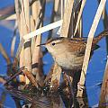 Marsh Wren Print by John Burk