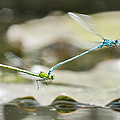 Mating Damselflies On The Wing Print by Steven Poulton