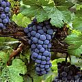 Merlot Clusters Poster by Craig Lovell