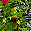 Mindo Butterfly At Rest Print by Al Bourassa