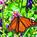 Monarch Beauty Print by Nicole Engelhardt