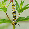 Monarch Caterpillar and Milkweed Poster by Steve Augustin