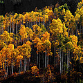 Morning Aspens Print by The Forests Edge Photography - Diane Sandoval