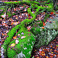 Moss Roots Rock and Fallen Leaves Print by Thomas R Fletcher