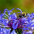 Mountain Cornflower and Bumble Bee Poster by Byron Varvarigos