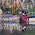 Mr and Mrs Wood Duck Poster by Bill  Wakeley