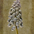 Muscari armeniacum with textures Poster by John Edwards