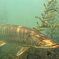 Muskie Print by Eric Engbretson