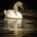 Mute Swan II by Jim Nelson