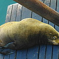 NAPPING SEA LION Print by Jeff  Swan