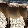 National Zoo - Donkey - 01134 Print by DC Photographer