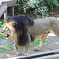 National Zoo - Lion - 011311 Print by DC Photographer