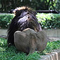 National Zoo - Lion - 011314 Print by DC Photographer