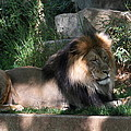 National Zoo - Lion - 011317 Print by DC Photographer