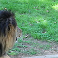 National Zoo - Lion - 01134 Print by DC Photographer