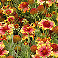 nature - flowers -Blanket Flowers Six -photography Print by Ann Powell