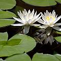 Nature's Snow White Water Lilies Poster by Linda Phelps