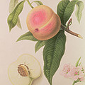 Noblesse Peach Print by William Hooker