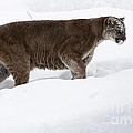 Northern Depths Cougar in the Winter Snow Poster by Inspired Nature Photography By Shelley Myke