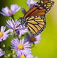 Old Butterfly On Aster Flower Poster by Richard J Thompson