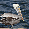 On the Edge - Brown Pelican Poster by Kim Hojnacki