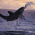one great white shark jumping out of ocean in an attack at dusk Poster by Brandon Cole